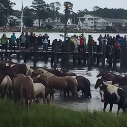 The annual Chincoteague pony swim and auction started in 1925.